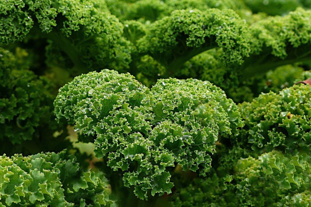 Grünkohl als gute Calciumquelle